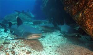 tiburones de arrecife de punta blanca